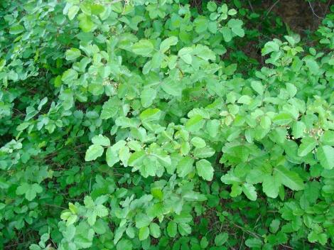 California poison oak