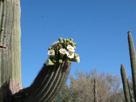 Saguaro, Tuscon, Arizona
