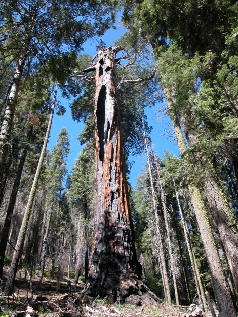 a big old Sequoia, Sierra Nevada's -- California