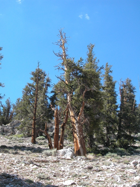 Great Basin bristlecone pines, White Mountains