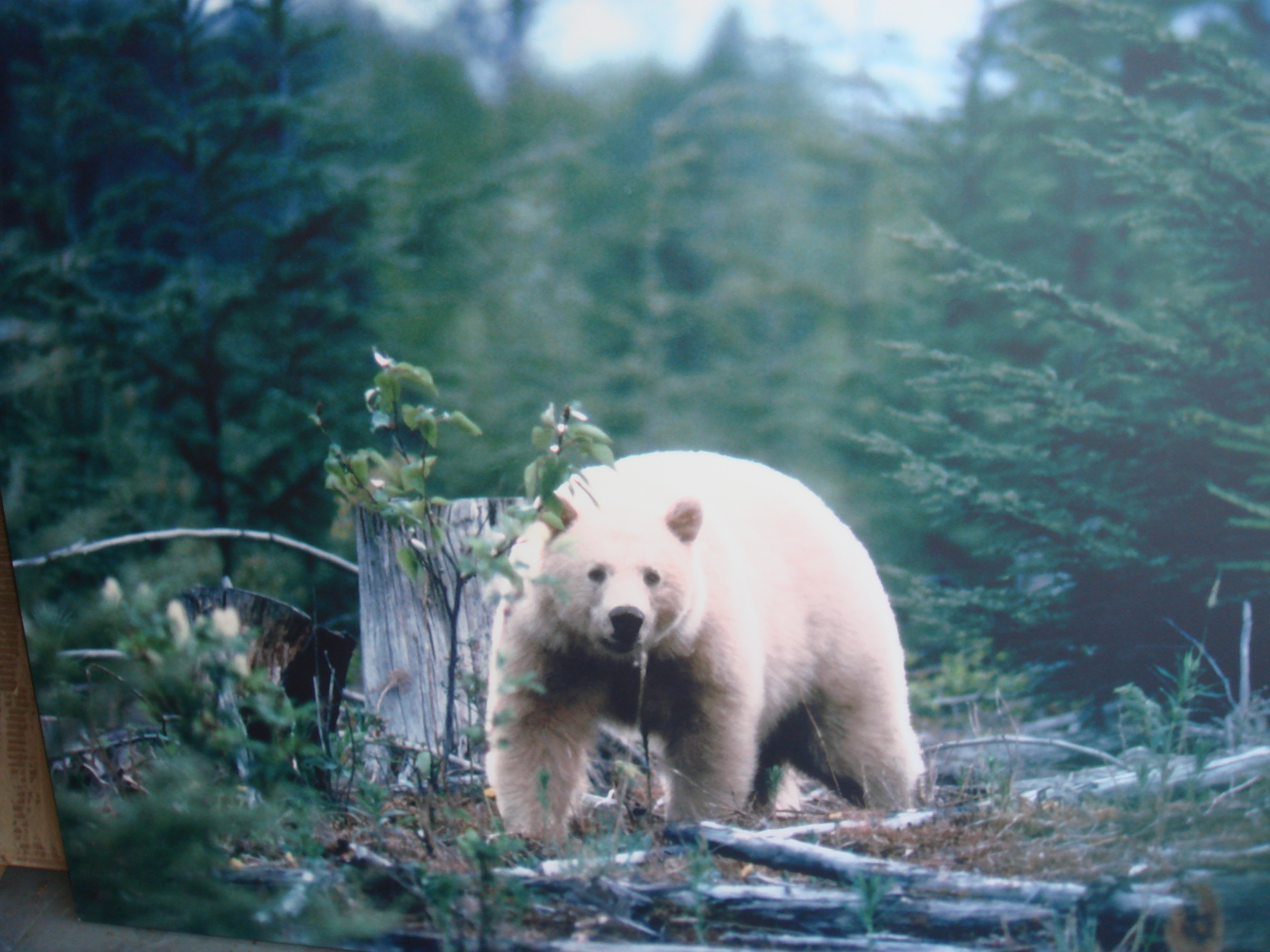 Spirit bears are also playful much like dogs that chase one another in ...